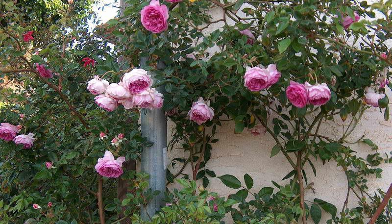 Штамбовые полиантовые розы сорт Aunt Margy's Rose