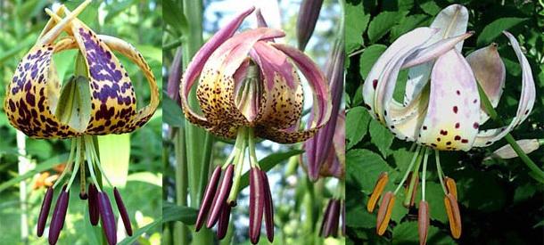 Садовая лилия американские гибриды