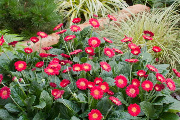Садовые цветы герберы фото на клумбе