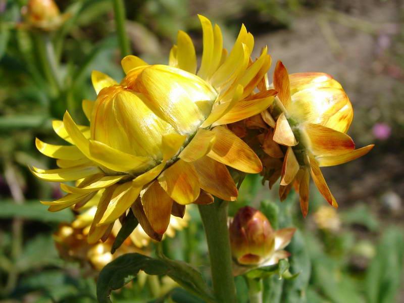 Садовый бессмертник прицветниковый цветок фото Helichrysum bracteatum