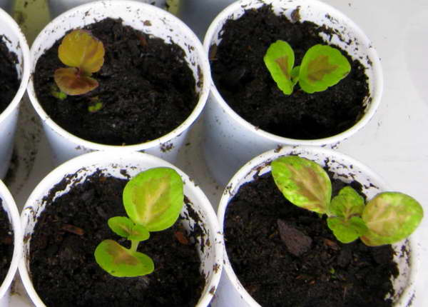 Садовый колеус из семян фото рассады