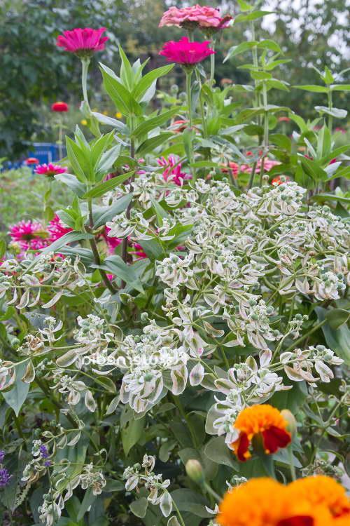 Садовый молочай окаймленный с бархатцами и цинниями фото