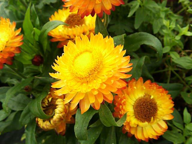 Садовый цветок бессмертник гелихризум или цмин Helichrysum Essential Oil фото