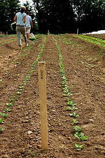 Салат цикорный диетический выращивание из семян