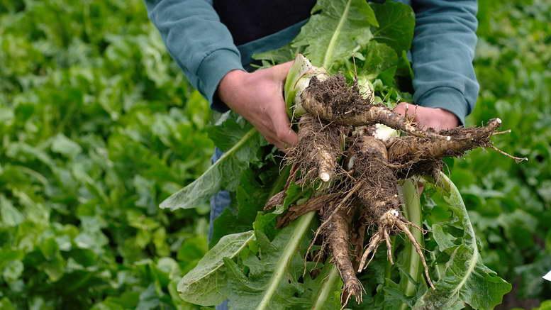 Салат цикорный витлуф выращивание из семян посадка и уход