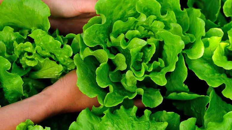 Салат выращивание и уход в открытом грунте в теплице и на подоконнике