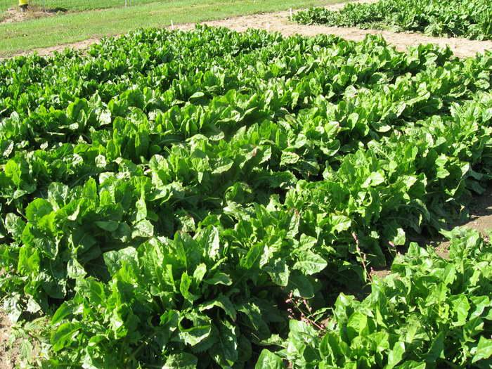 Салатный цикорий витлуф выращивание из семян в открытом грунте