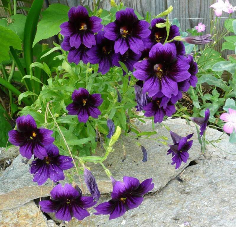 Сальпиглоссис цветы фото