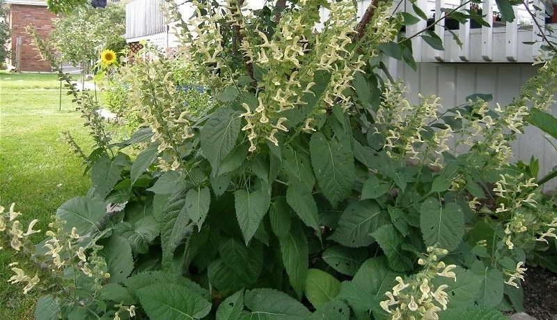 Сальвия клейкая или шалфей железистый Salvia glutinosa фото