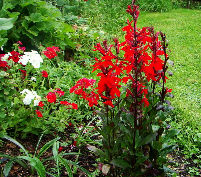 Сальвия ярко красная Salvia coccinea фото