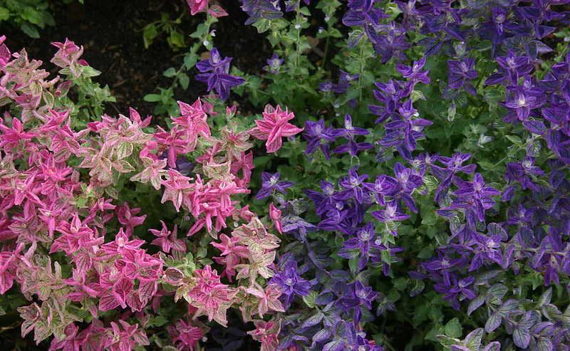 Сальвия зеленая или же пестрая Salvia viridis var. Horminum фото