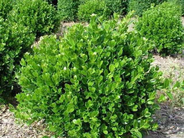 Самшит мелколистный Фолкнер Buxus microphylla 'Faulkner' фото