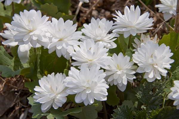 Сангвинария флоре плено Flore Pleno фото
