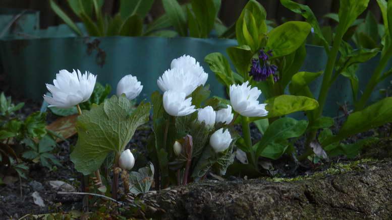 Сангвинария канадская махровая посадка и уход фото цветов