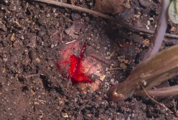 Сангвинария кровавый корень фото