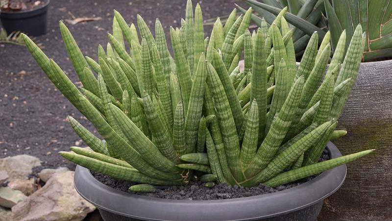 Сансевиерия цилиндрическая Sansevieria cylindrica фото
