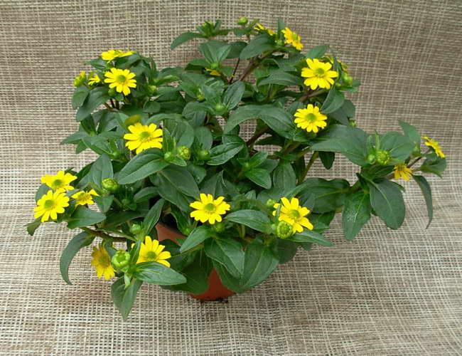 Санвиталия Ампельная фото цветов
