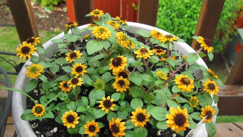 Санвиталия выращивание из семян Фото цветов