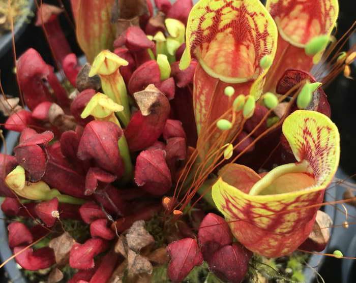 Саррацения Пурпурная Пурпурная Sarracenia purpurea ssp purpurea фото