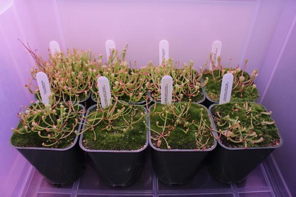 Саррацения из семян фото всходов