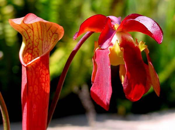 Саррацения красная Sarracenia rubra фото