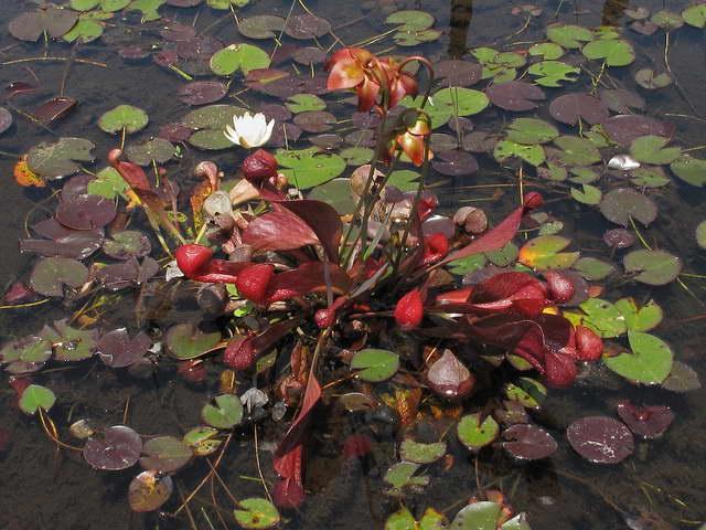Саррацения пситтацина Sarracenia psittacina фото