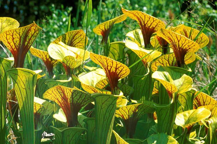 Саррацения желтая Sarracenia flava фото