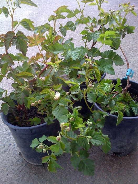 Саженцы бойзеновой ягоды фото