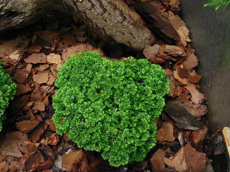 Селагинелла безножковая Selaginella apoda фото в природе