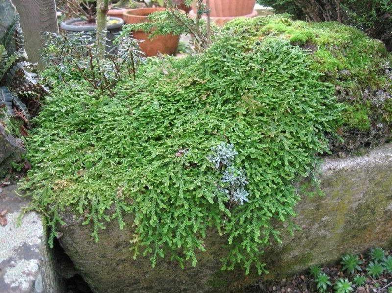 Селагинелла швейцарская Selaginella helvetica фото