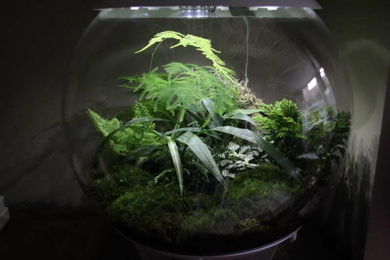 Селагинелла в аквариуме фото композиции