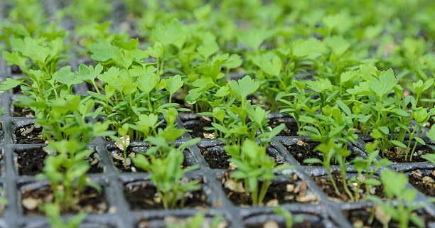 Сельдерей черешковый выращивание из семян фото всходов