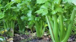 Сельдерей черешковый выращивание уход в открытом грунте Сельдерей листовой и корневой через рассаду