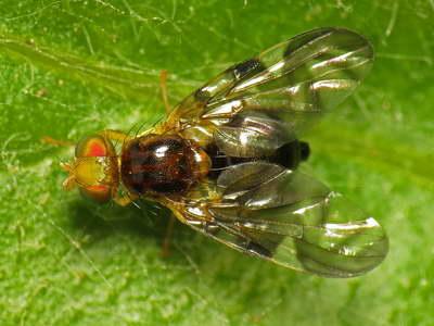Сельдерейная муха фото