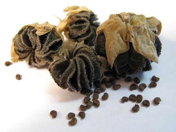 Семена абутилона фото