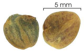 Семена афеландры фото