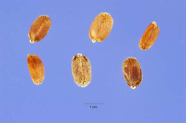 Семена агастахе фото