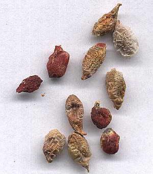 Семена аглаонемы фото
