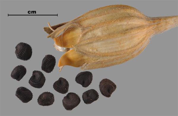 Семена агростеммы