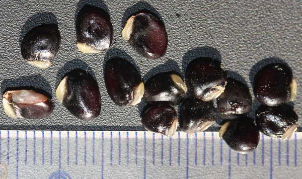 Семена акебии фото