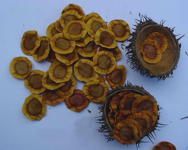Семена алламанды фото