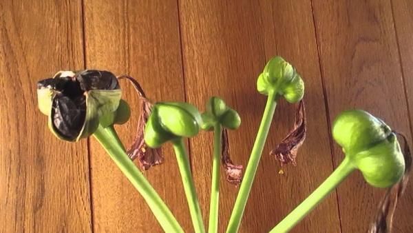 Семена амариллиса фото Как получить семена амариллиса