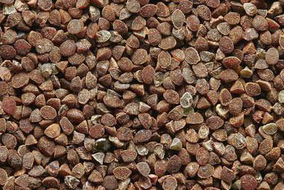 Семена анагаллиса фото