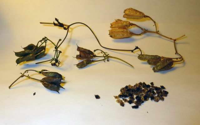 Семена азалии фото