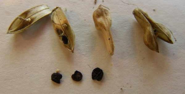 Семена белопероне фото