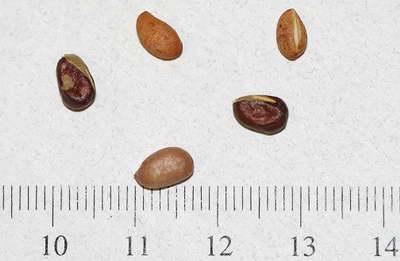 Семена бересклета фото