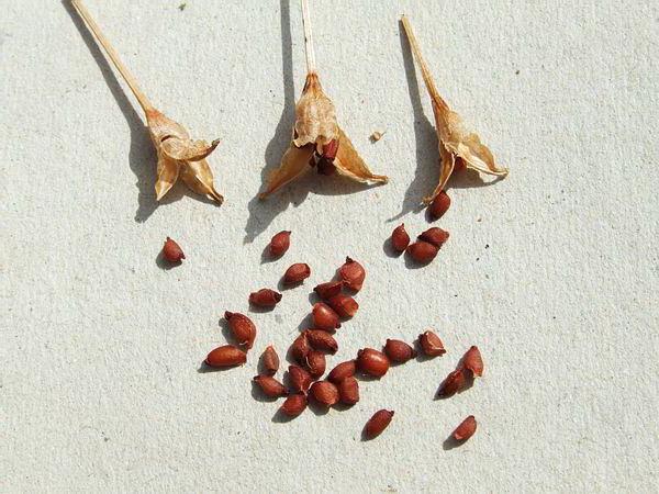 Семена безвременника фото