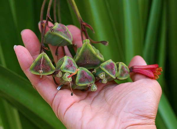 Семена бомареи фото семенных коробок