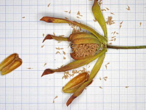 Семена дарлингтонии фото