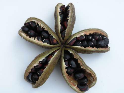 Семена древовидного пиона готовые к посадке фото